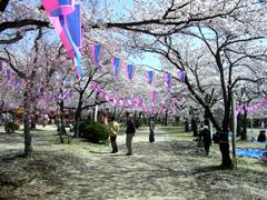 天覧山 桜